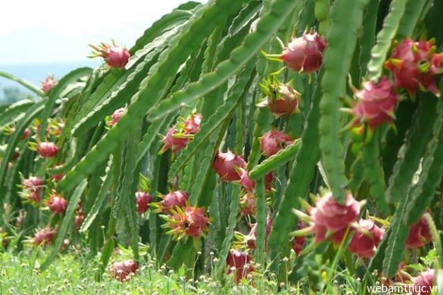 Hình 2 – Châu Thành là nơi trồng thanh long nhiều nhất Long An